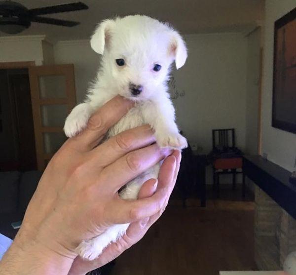 cachorra de talla miniatura