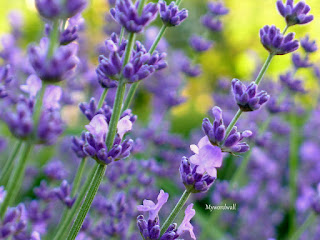 The magical secrets of the lavender