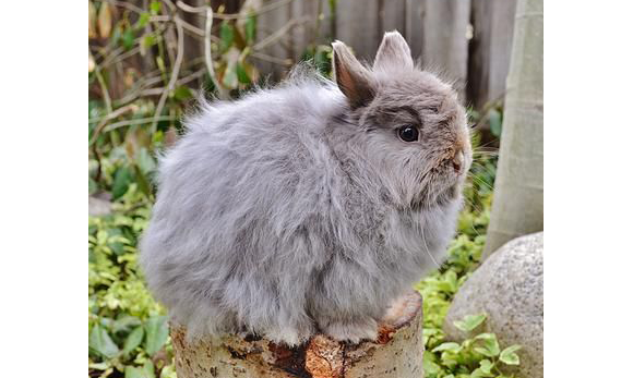 Jersey Wooly Rabbit: The Quiet And Calm Personality With A Wooly ...