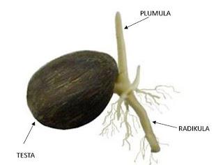 artikel ini membahas tentang Cara Membuat Kecambah Kelapa Sawit Berkualitas Unggul - cara membuat kecambah kelapa sawit kualitas unggu, fungsi kecambah kelapa sawit dalam pembibitan