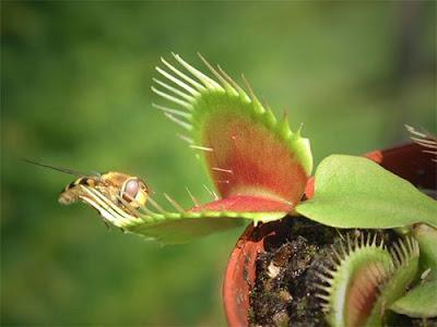 Plantas carnívoras sabem contar?