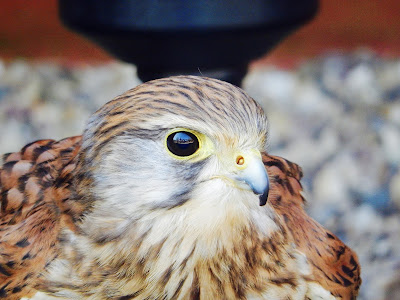 6 Family Things to do at Kielder - Guest Post by Rural Teacake, Kielder Water Birds of Prey Centre