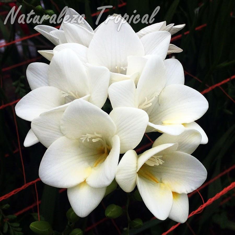 Variedades blancas de las flores de un cultivar del género Freesia