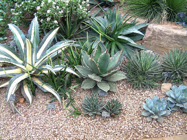 How to grow Agave from seed