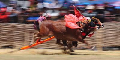 budaya kerapan sapi