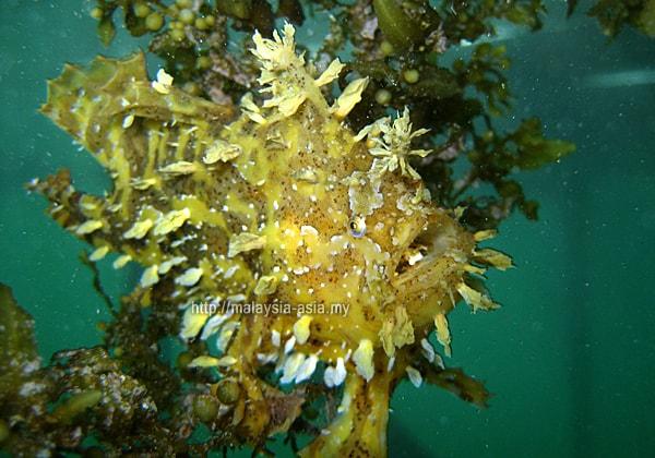 Sargassum Frogfish Malaysia