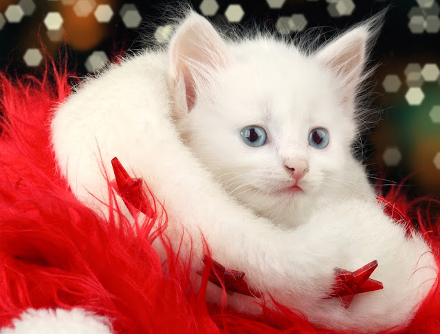 merry christmas Cat wallpaper hd