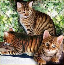 Magazines-time: Toyger kittens, kittens for sale, toygers