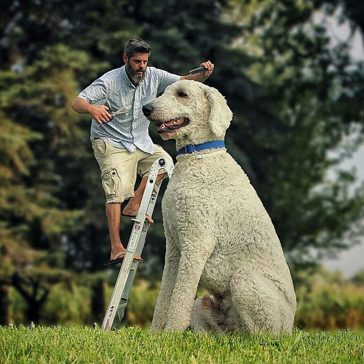 07-Just-a-Trim-Christopher-Cline-Juji-The-Giant-Dog-Photo-Manipulations-www-designstack-co