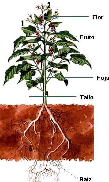 Dibujo de la planta con sus frutos y señalando sus partes a color