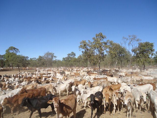 Peternakan Sapi Australia