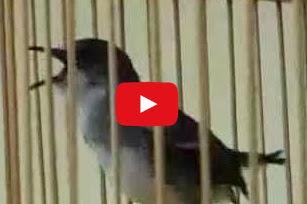 Video Youtube Ciblek Gunung Gacor Mantab Hobi Si Petani