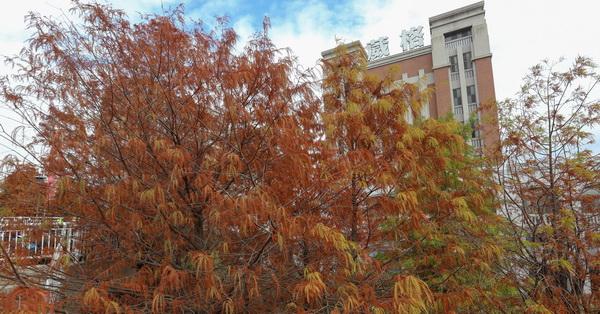 台中北屯|葳格國際會議中心外面數十棵轉紅的落羽松,人行道旁的美景