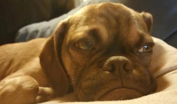 """Chú chó con 5 tháng tuổi nhưng mang bộ mặt """"già như quả cà"""""""