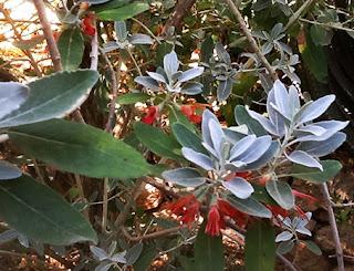 Jocama (Teucrium heterophyllum) flor silvestre roja