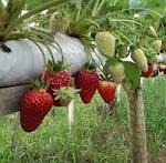 As vantagens do cultivo Hidropônico