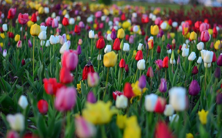 15 Gambar Bunga Tulip Yang Indah Dan Cantik Roman Kamelove