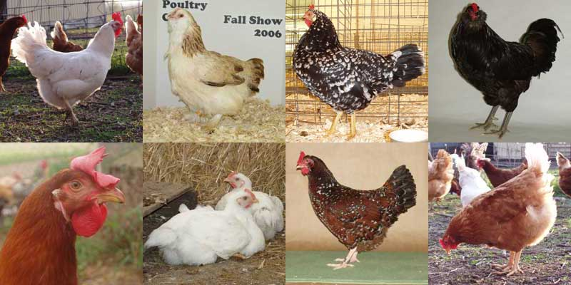 External Anatomy Of Poultry Kept On Small Or Backyard Flocks Chicken