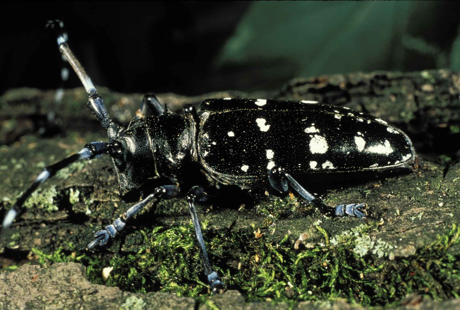 Asian longhorn beetle pic, naked girls with big chest