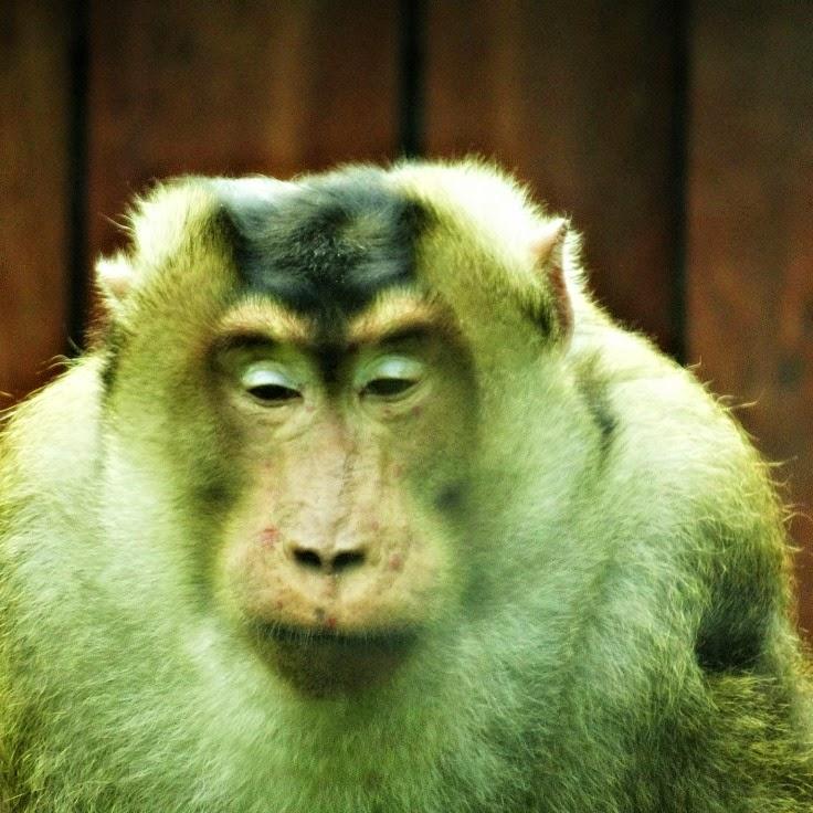 """Macaco nemestrina de """"farol baixo"""""""