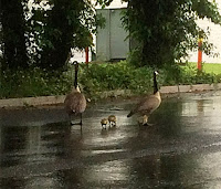 Geese and family