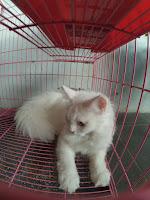 Anggora_kucing