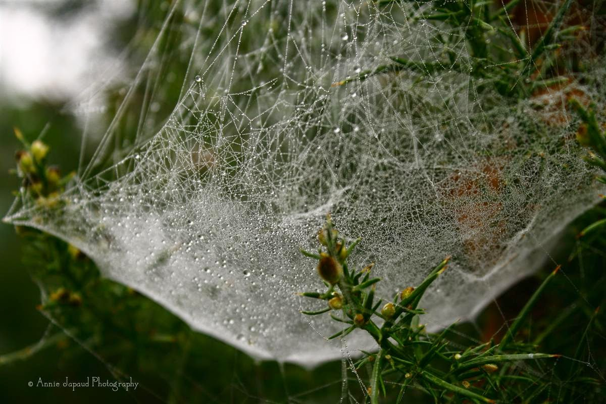 large cobweb in a bush