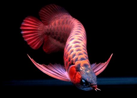 Tips Merawat Ikan Arwana
