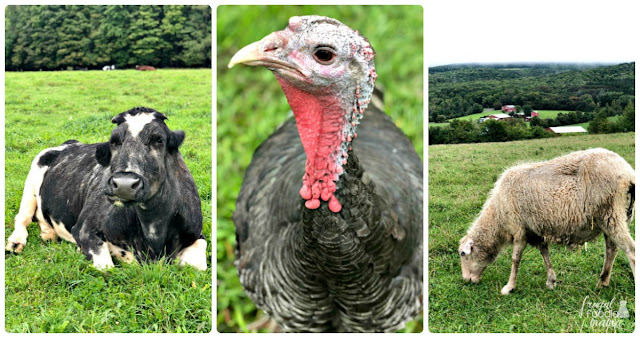 Located just 20 minutes west of Watkins Glen State Park, is the Farm Sanctuary. This 271 acre farm serves as a shelter & sanctuary to over 500 rescued farm animals.