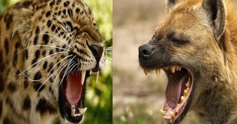 Leopard Vs Lion Who Wins