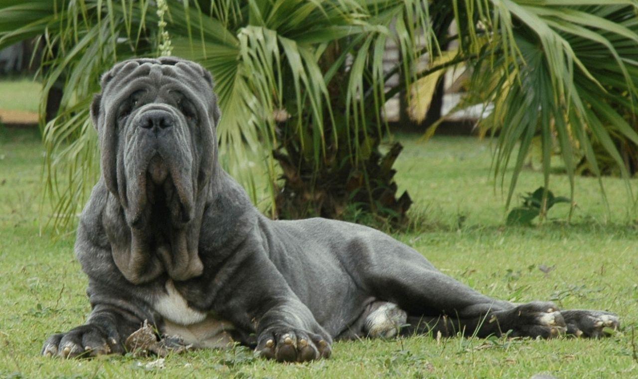 As 10 Maiores Raças de Cães do Mundo