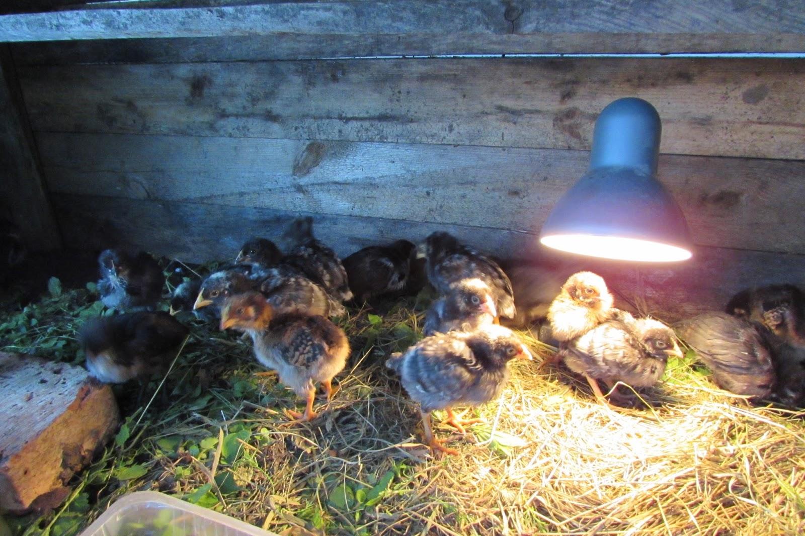 причина эффективное лампа для обогрева цыплят фото следует особым