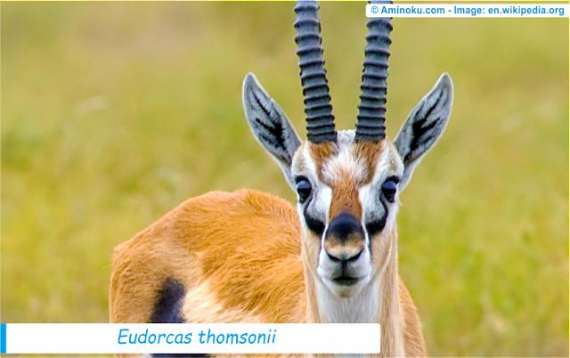 Fakta unik gazelle thomson