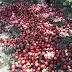 Αγροτικός Σύλλογος Ημαθίας: Μπροστά σε αδιέξοδο οι ροδακινοπαραγωγοί!