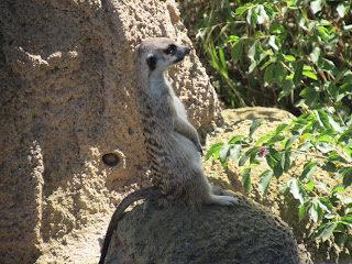 Meerkat at San Diego Zoo.