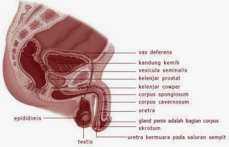 Authors organs Human Reproductive System