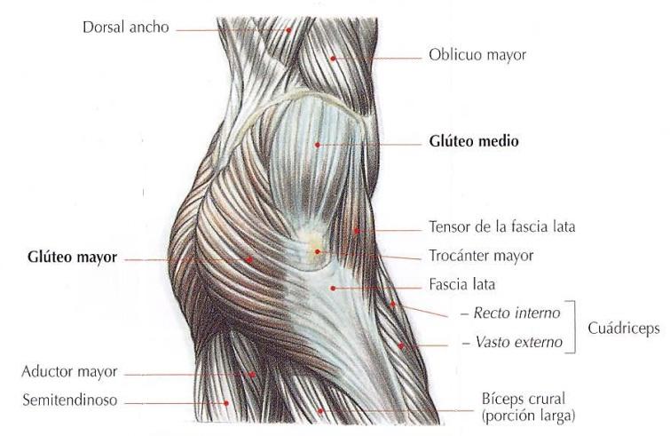 Anatomía del gluteo vista lateral