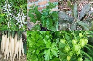 13 tanaman obat Peluruh batu ginjal