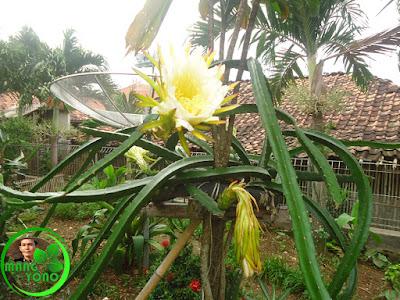Bunga buah naga didepan rumah admin