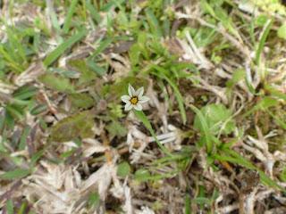 Sisyrinchium micranthum - Sisyrinque à petites fleurs