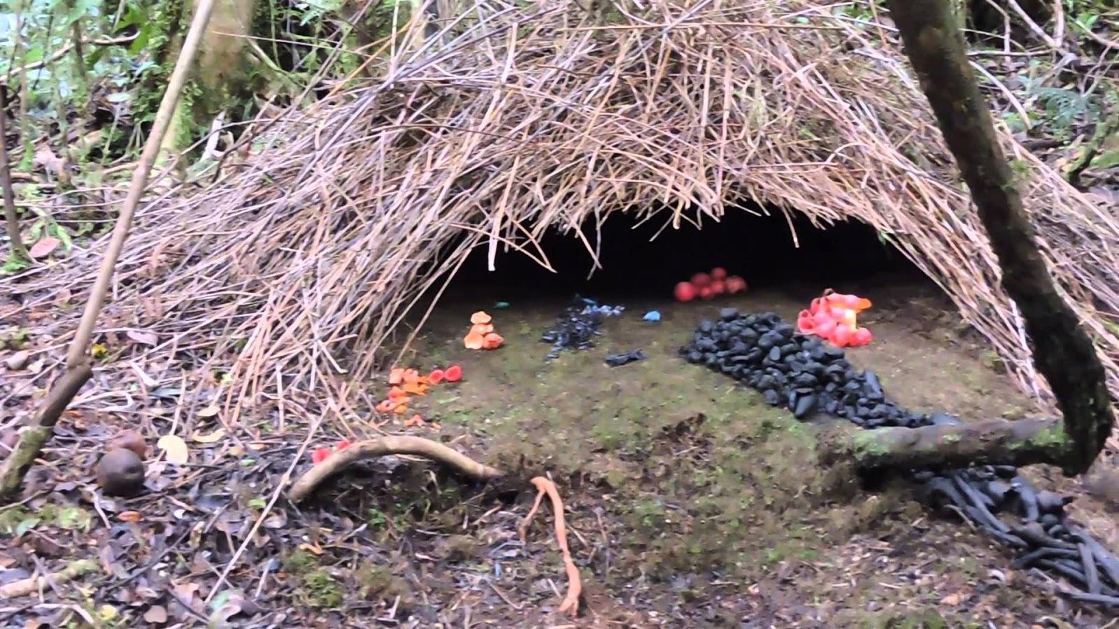Vogelkop bowerbird nest, forest