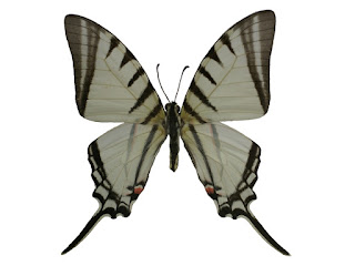 Protographium agesilaus