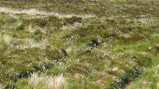 Mesés, fehér pamutszerű virágok a mezőn Skóciában
