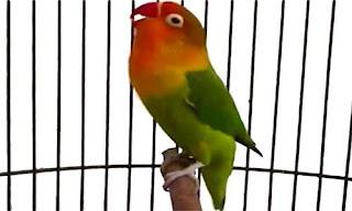 lovebird jawara