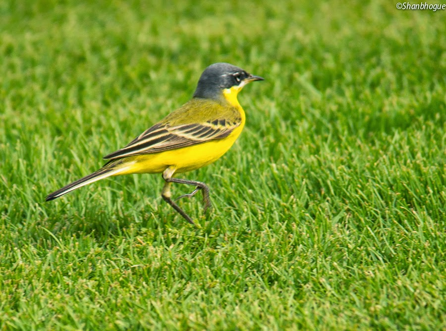Yellow Wagtail - thunbergi