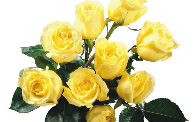 hoa hồng vàng đẹp nhất thế giới 21