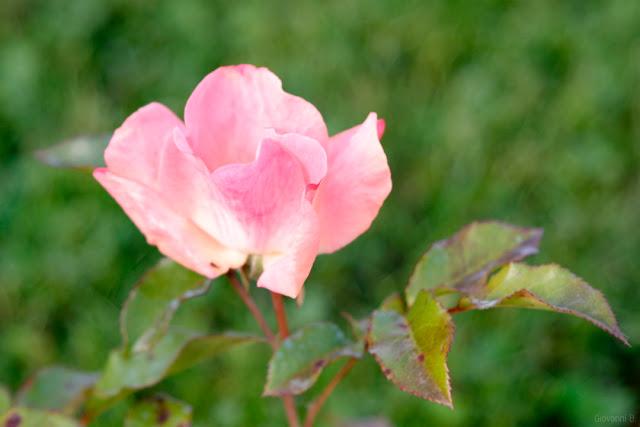 Una rosa poco petalosa