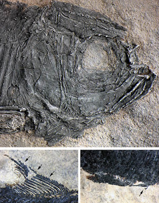 Fish with secondary sexual characteristics found from the Middle Triassic of China