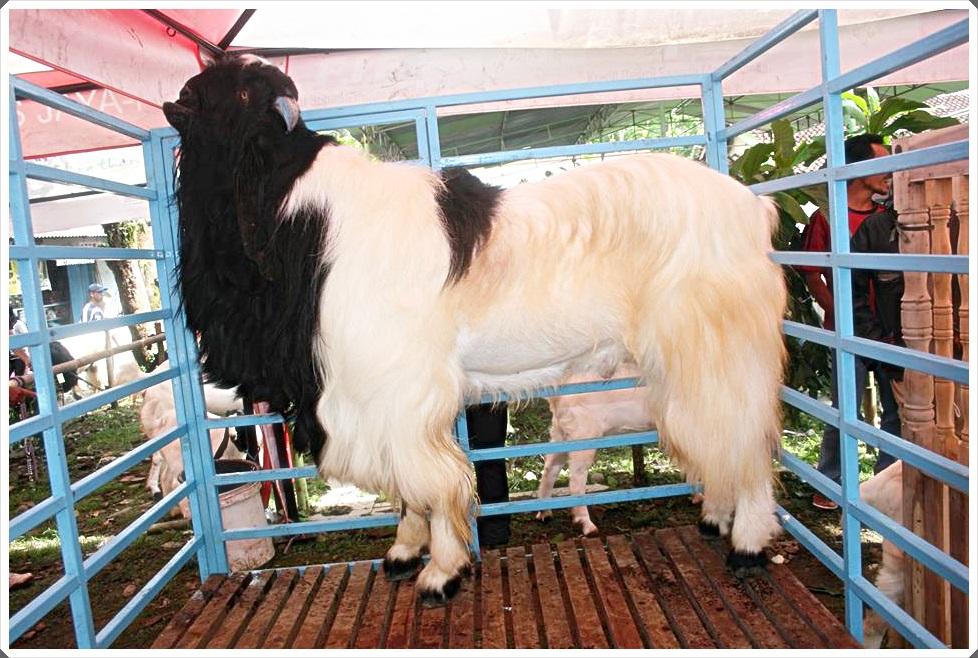 foto 4 gambar kambing etawa super winner 2015