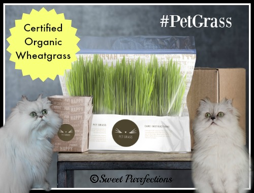 Brulee and Truffle demonstrating how Whisker Greens is packaged.  #PetGrass